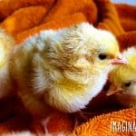 Here are 10 things about raising chickens you won't read in books.