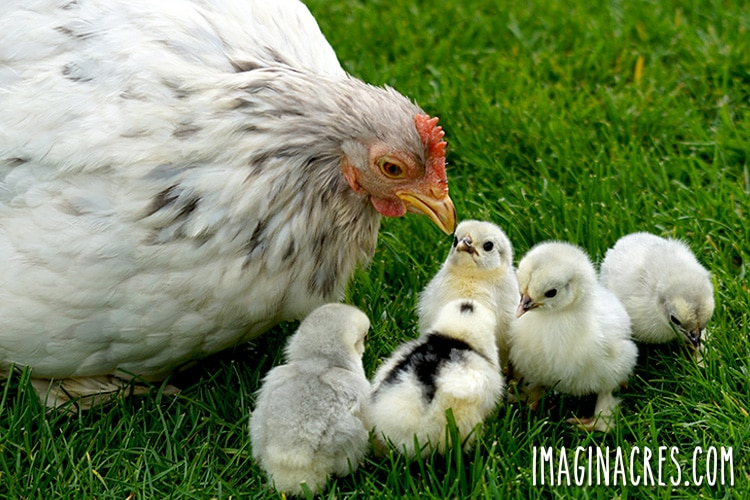 You may finally think you are ready to raise backyard chickens. We did too. We soon discovered that book knowledge and research didn't explain everything. Here are 10 things about raising chickens that surprised us.