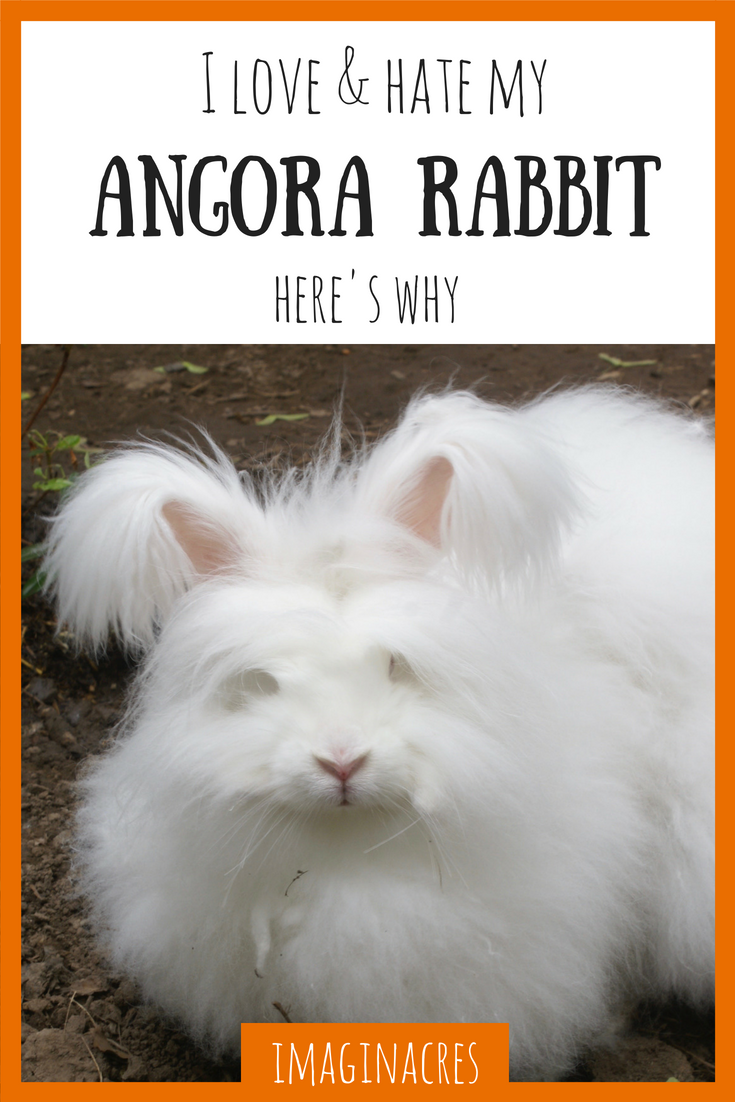 Angora rabbits are adorable and troublesome all at once. Here's 8 reasons why I love (and hate) my angora rabbit