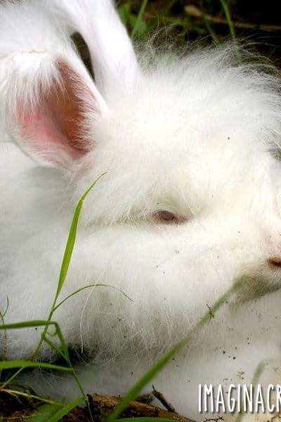 white angora rabbit with attitude