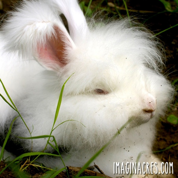 white angora rabbit with attitude