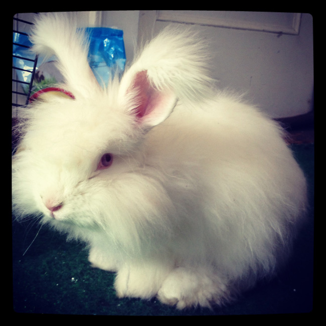 8 Reasons why I love (and hate) my angora rabbit