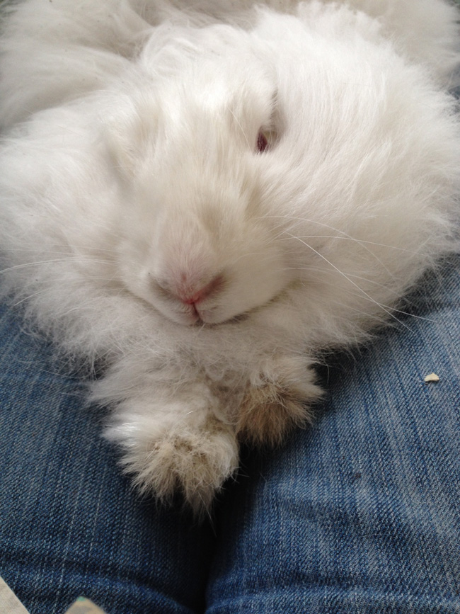 Angora rabbit pros and cons