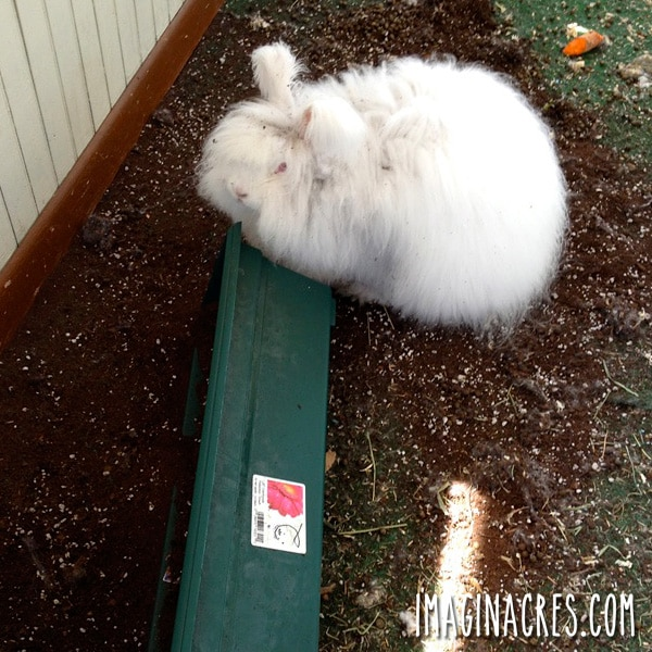 white rabbit knocking over spinach planter and eating spinach