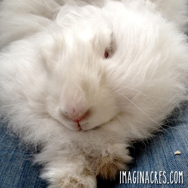 white angora bunny sitting on lap