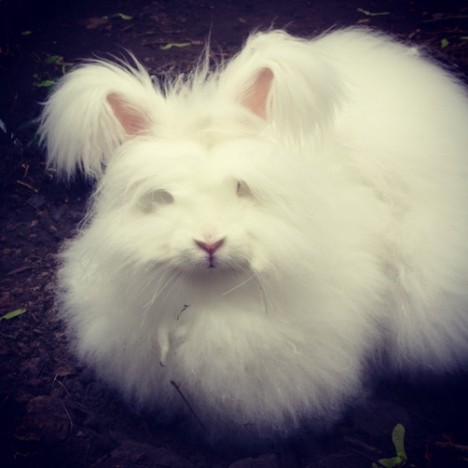 Angora rabbits are cute, adorable and fluffy. They're also destructive poop machines. Here's 8 reasons why I love and hate my angora rabbit.