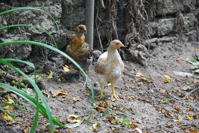 Easter Egger chicks ~ImaginAcres