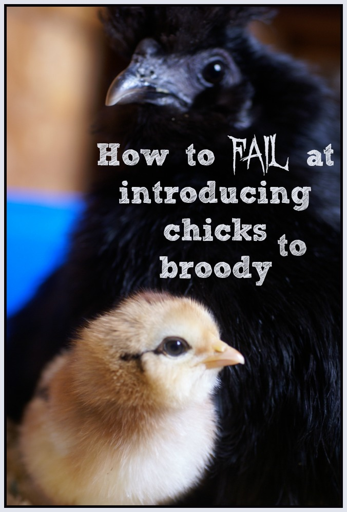 We wanted our new chicks to meet their new mom, a broody hen in our flock. We went about it in completely the wrong way. Here's how to fail at introducing chicks to a broody hen