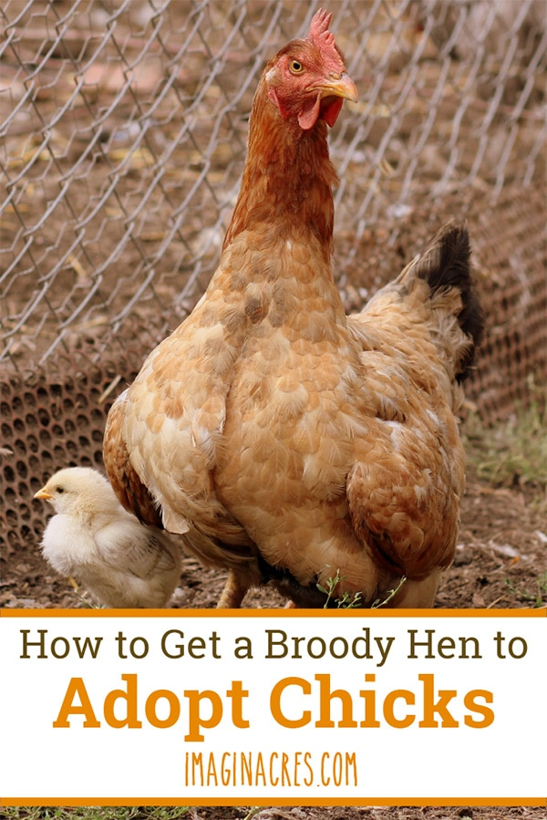 If you've ever tried introducing chicks to a broody hen, you know it can be difficult. If you've never done it, read on to find out how and what NOT to do.