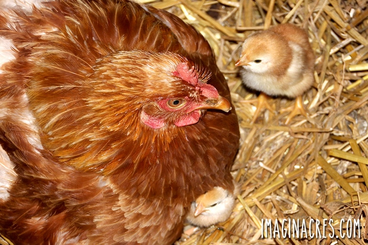 chicks and mother hen on straw