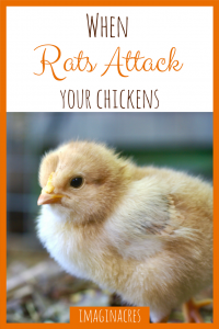 Most people consider rats to be more of a pest than a predator, but we've had first hand experience with rat attacks, and learned just how to get rid of rats in the chicken coop