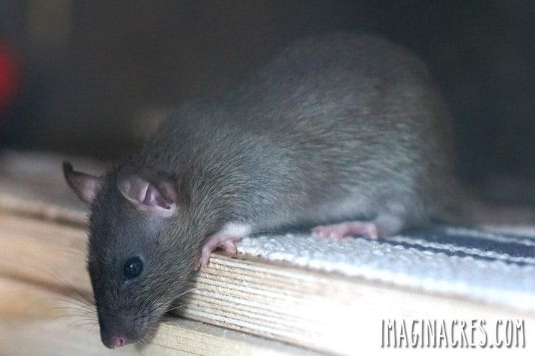 grey rat looking over the edge of a shelf