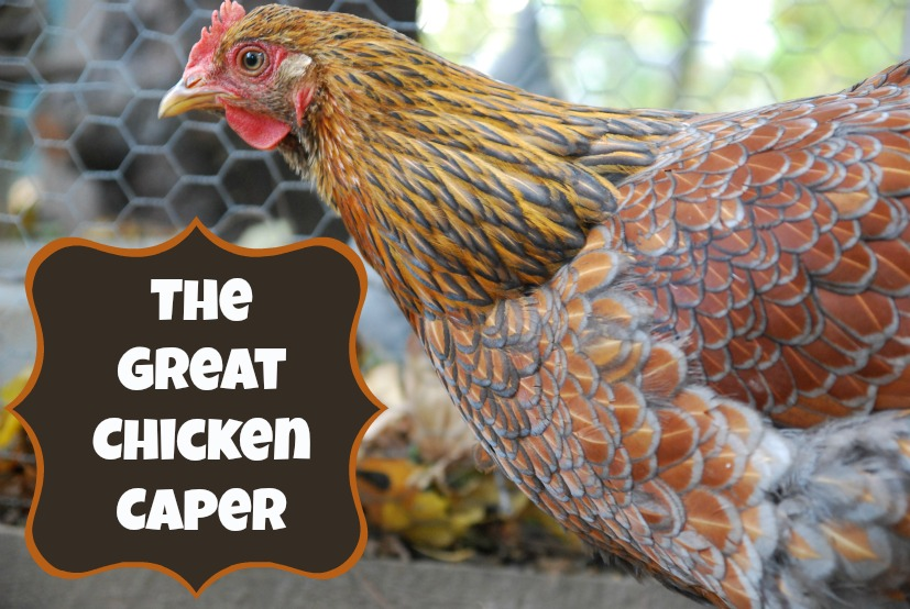 The Great Chicken Caper | ImaginAcres