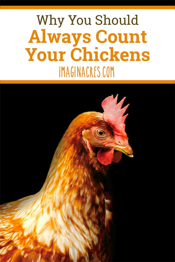 It's important to always count your chickens before bed. Forgetting this one lesson of chicken keeping can be the difference between life and death.