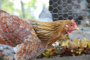 Our blue laced red wyandotte is our pride and joy. Her coloring is gorgeous!