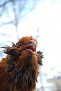I never see it coming, but the weirdos in our chicken flock are always the ones to worm their way into my heart.