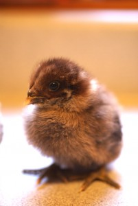 Our new batch of babies is so adorable, we want to share them with the whole world! Enjoy this beautiful bounty of chick photos and get to know the newest members of our flock!