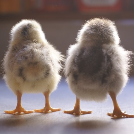 There are five new chicks at ImaginAcres, and they're chock full of cuteness and personality!
