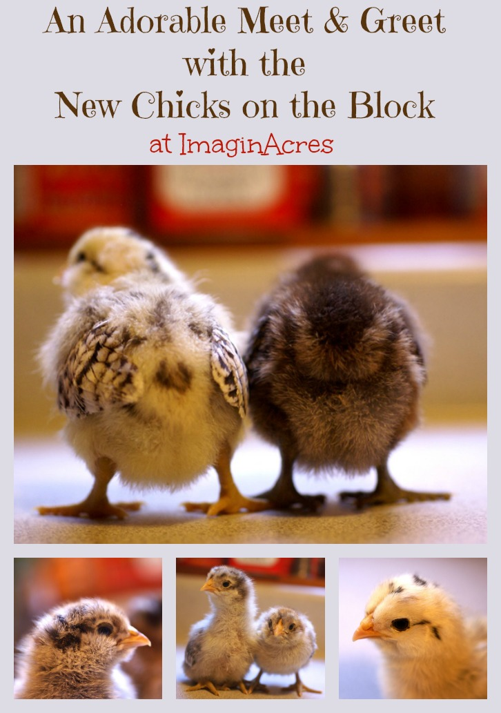 There are five new babies freshly hatched from ImaginAcres. With their Star Wars inspired names and burgeoning personalities, you won't want to miss this bundle of cuteness!