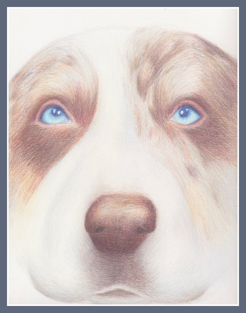 Our Australian Shepherd, Nico, is a total troublemaker. Her mischievous face was captured in full detail in this original colored pencil illustration.