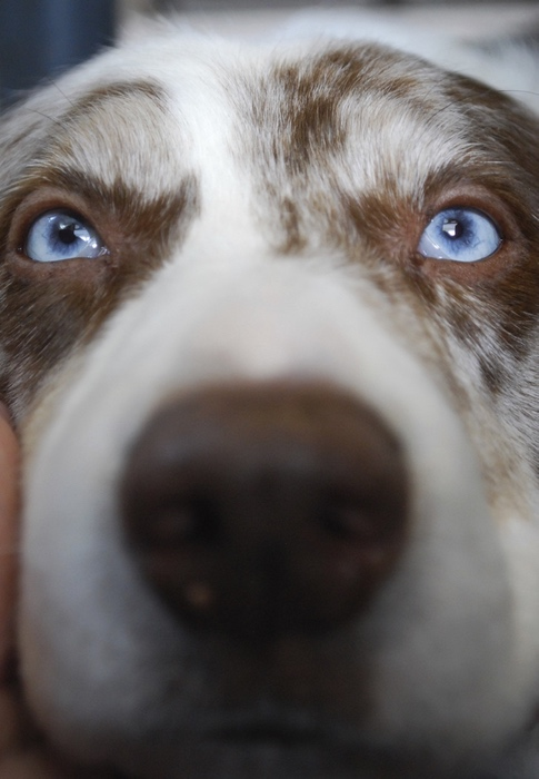 Portrait of an Australian Shepherd
