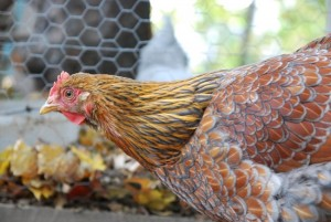 How to Take your Chickens From Livestock to Pets in 5 Easy Steps