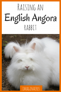 The tale of how we got an English Angora rabbit and she slowly drove us to madness