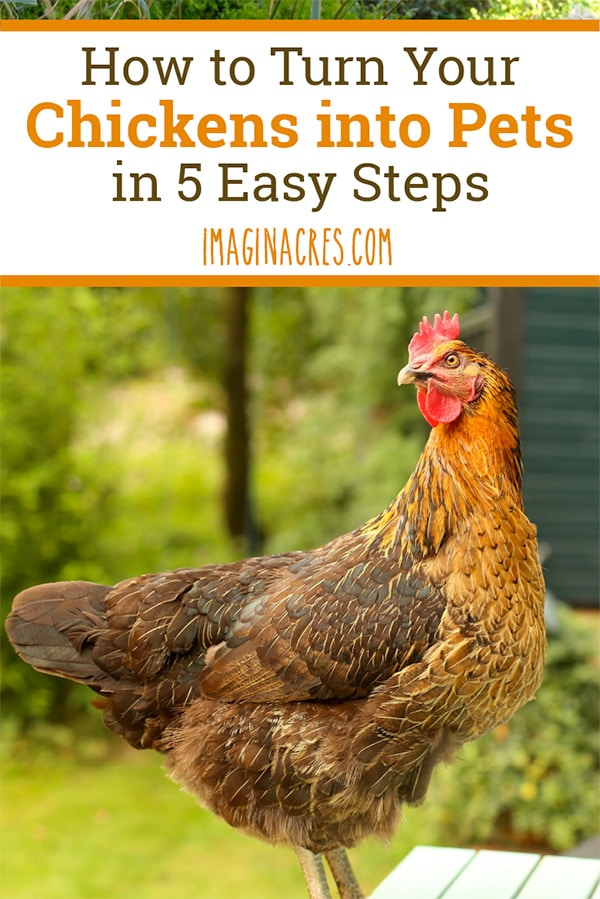 Treating your chickens as much-loved pets is not difficult. Their unique personalities, antics, and intellect make it easy to think of them as pets that also supply eggs. Read on to see how easy it is to convert chickens from livestock to pets.