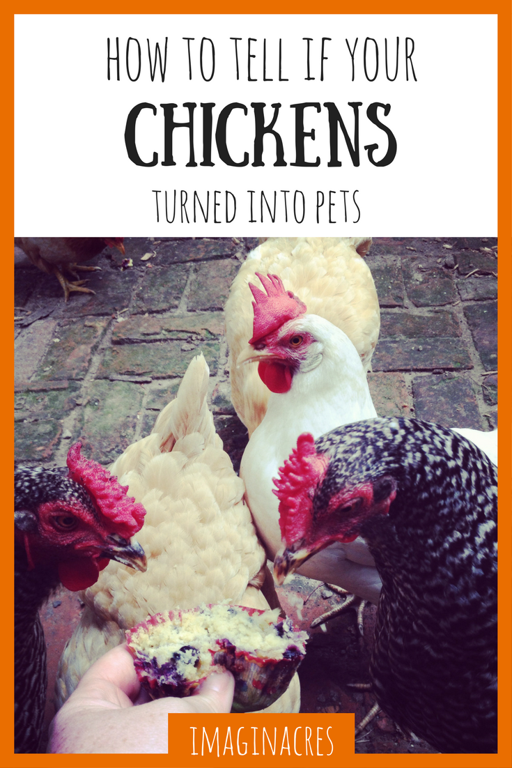 Did you buy chickens so you'd have fresh eggs, then start treating them better than the family dog? We did too. Here's how to find out if your livestock have turned into pets.