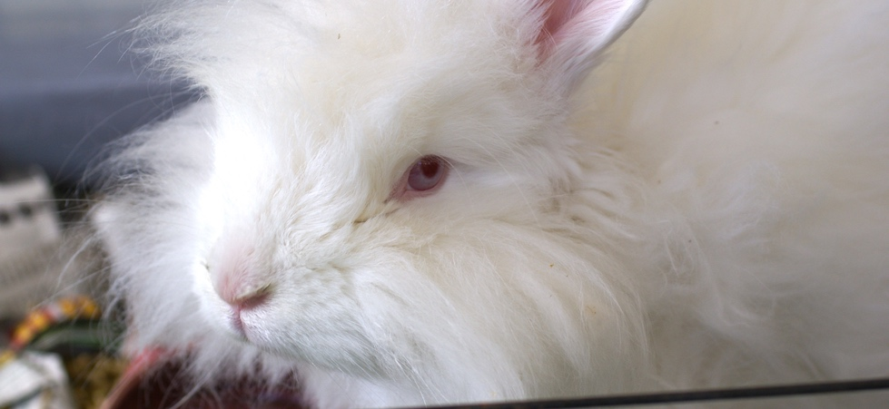 I made the impulsive decision to bring home an Angora rabbit, and then chaos ensued.