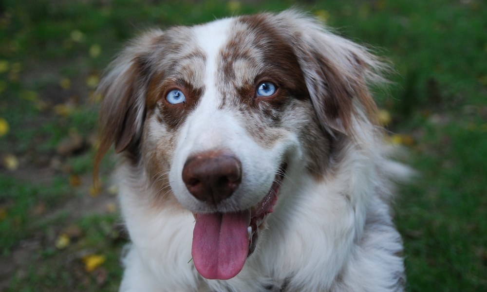 Nico Face: Portrait of an Australian Shepherd