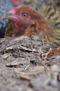 The beauty of chickens portrayed through the camera. Flock photos from this summer.
