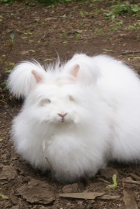 Our Angora rabbit Dolly supplies us with beautiful and soft wool to spin into yarn.