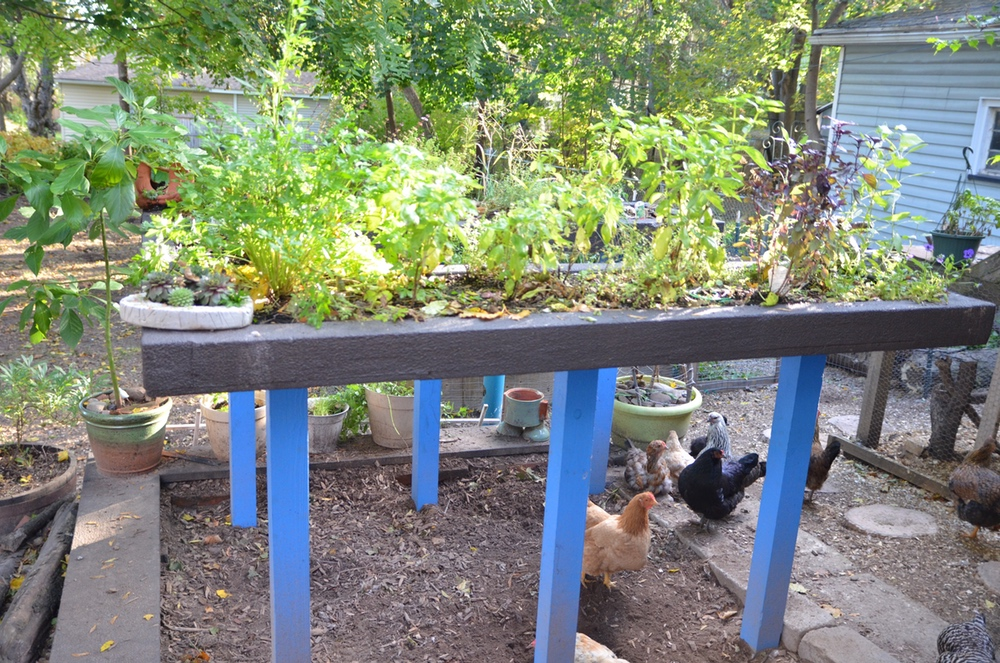 Our herb garden is raised to keep the chickens out and allow for easy harvesting.
