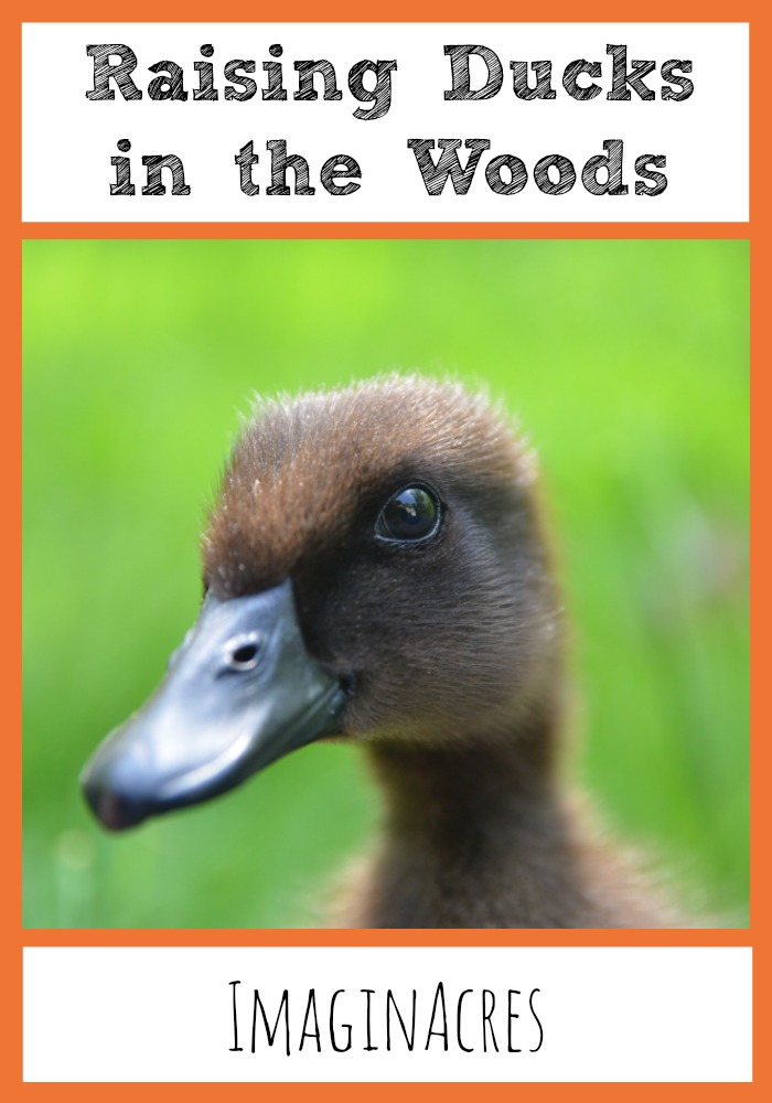 We've been raising ducks in the woods for several months now and boy have we learned a lot!