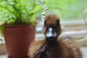 This past Spring we added Silkies, Orpingtons, and Cayuga ducks to our flock!