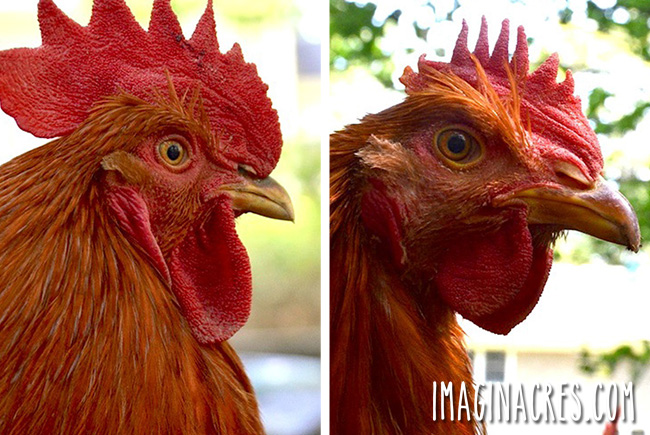 two rooster profile photos