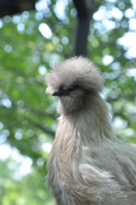 Silkies make wonderful additions to the flock!