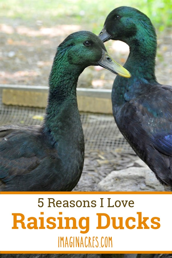 Are you thinking about raising backyard ducks? Keeping ducks on your homestead is a great option for eggs and pest control. Raising ducks has major pros and cons. Here's everything we love about raising ducks!