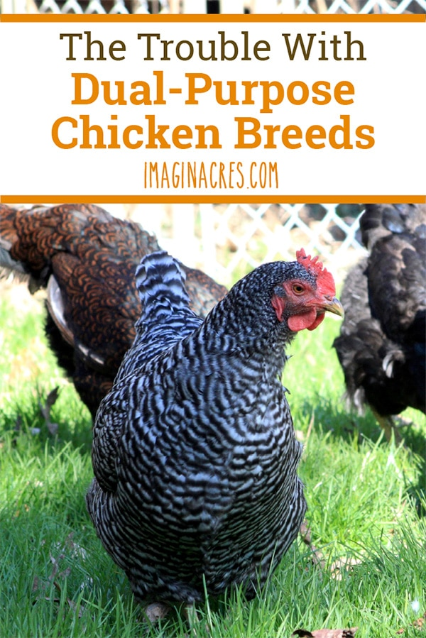 A dual-purpose chicken is a type that can produce both eggs and meat. This sounds efficient, but there is a downside. Be sure to consider the trouble with raising dual-purpose chickens.