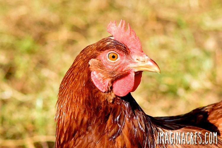 orange chicken standing in a grassy yard