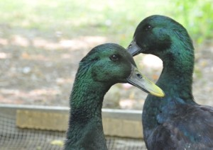 Raising ducks can be really awesome, and it can be really annoying. Here's the 5 big negatives to consider before getting ducks.