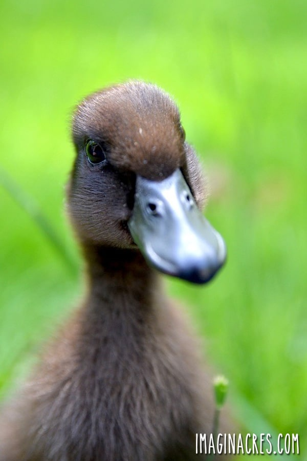 close up of duck