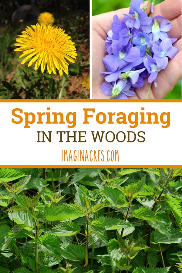 Spring foraging is one of my all time favorite activities. There is nothing more pleasurable than taking a walk in the woods in the spring. The woods smells earthy, the birds are singing, and there is green growth sprouting up all over.