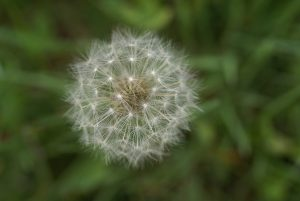 Spring foraging means finding lots of dandelions! There are so many things you can make out of dandelion, it's a wonderful plant to find!