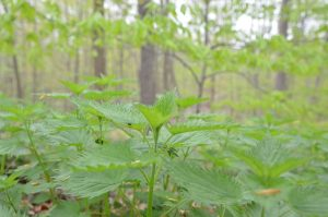 Foraging for stinging nettle may sound scary, but with the right precautions you can harvest and use this amazing plant!