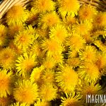 a basket of dandelion flowers