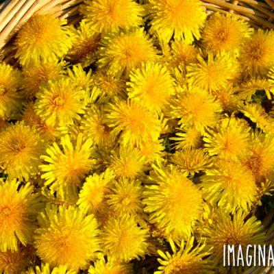 a basket of dandelion flowers