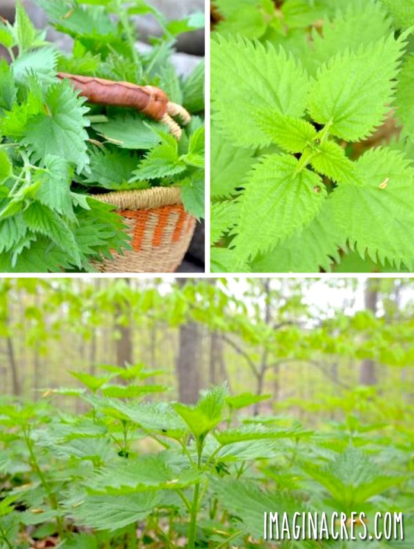 stinging nettle pictures