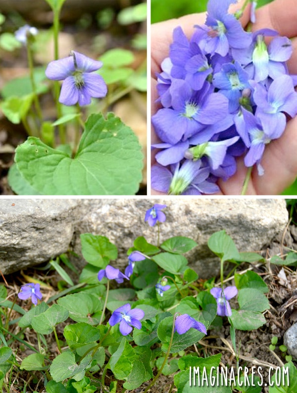 Wild violets are prominent in the late spring, showing their lovely purple faces all throughout the woods.